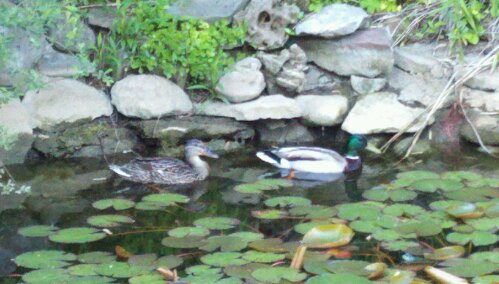 Backyard Duck Ponds harold and maude…3 years in a row! backyard duck pond neighbors